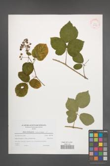 Rubus salisburgensis [KOR 38965]