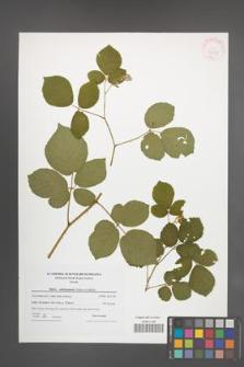 Rubus salisburgensis [KOR 42329]