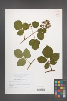 Rubus salisburgensis [KOR 40573]