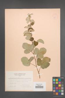 Rubus sanctus [KOR 18635]