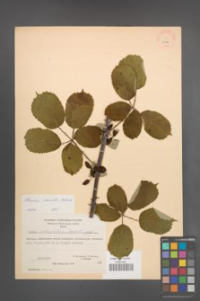 Rubus sanctus [KOR 27088]