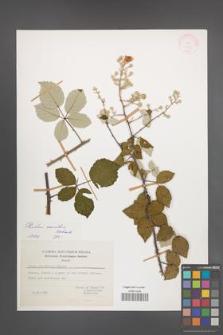 Rubus sanctus [KOR 27815]