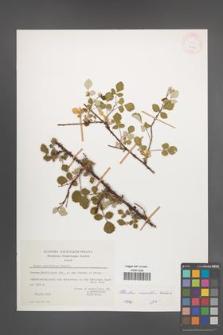 Rubus sanctus [KOR 27562]
