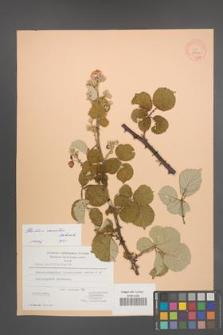 Rubus sanctus [KOR 27099]
