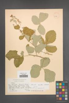 Rubus sanctus [KOR 18560]