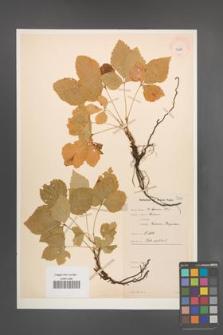 Rubus saxatilis [KOR 10987]