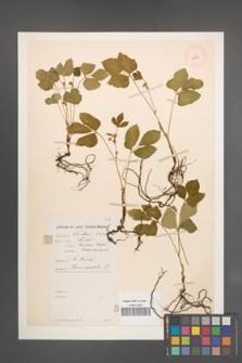 Rubus saxatilis [KOR 10994]