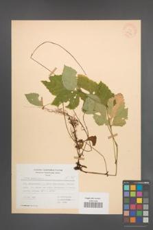 Rubus saxatilis [KOR 28044]