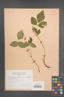 Rubus saxatilis [KOR 23452]