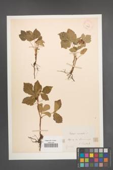 Rubus saxatilis [KOR 18588]