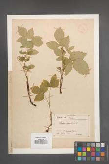 Rubus saxatilis [KOR 18594]