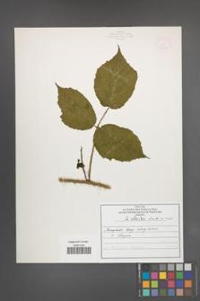 R. [Rubus] schleicheri [KOR 50117]