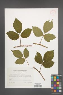 Rubus schleicheri [KOR 23404]
