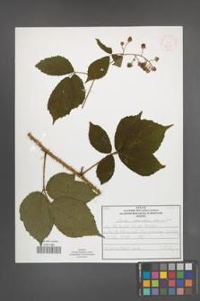 Rubus schleicheri [KOR 52025]