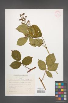 Rubus schleicheri [KOR 23405]