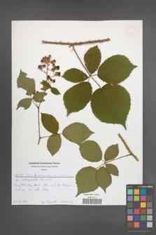 Rubus schnedleri [KOR 52559]