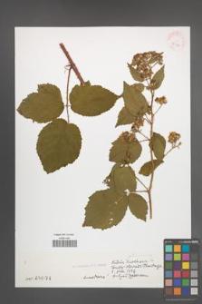 Rubus sciocharis [KOR 32312]