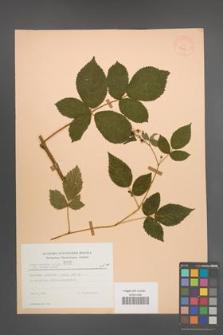 Rubus scissus [KOR 23443]