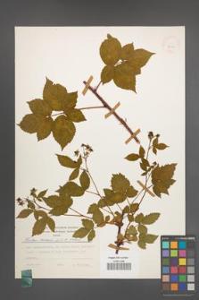 Rubus scissus [KOR 24922]