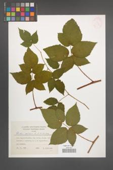 Rubus scissus [KOR 24920]
