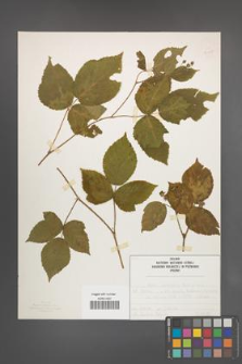 Rubus seebergensis [KOR 50027]