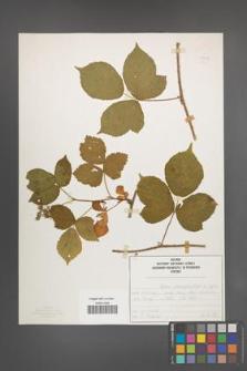 Rubus seebergensis [KOR 50025]