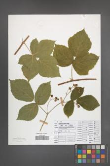 Rubus seebergensis [KOR 50042]