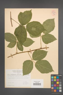 Rubus seebergensis [KOR 54422]