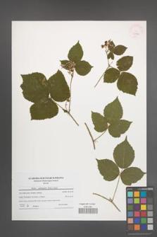 Rubus seebergensis [KOR 45983]