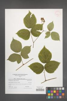 Rubus seebergensis [KOR 40795]