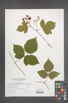 Rubus seebergensis [KOR 52599]