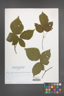 Rubus seebergensis [KOR 52639]