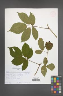 Rubus siemianicensis [KOR 52020]