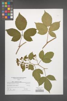 Rubus siemianicensis [KOR 51108]
