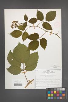 R. [Rubus] siemianicensis [KOR 51963]