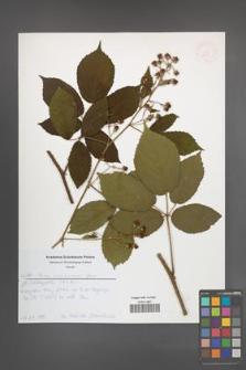 Rubus siemianicensis [KOR 52631]