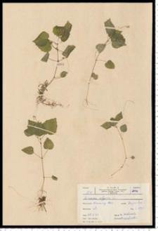 Circaea alpina L.