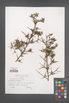 Calicotome villosa [KOR 32637]
