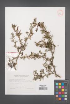 Calicotome villosa [KOR 39314]