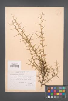 Calicotome villosa [KOR 21221]