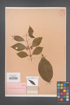 Callicarpa americana [KOR 771]