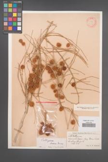 Calligonum densum [KOR 12371]