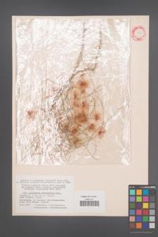 Calligonum arborescens [KOR 12366]