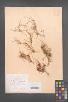 Calligonum polygonoides [KOR 12386]