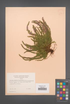 Calluna vulgaris [KOR 23457]