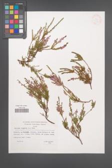 Calluna vulgaris [KOR 33183]