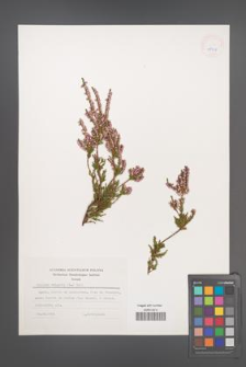 Calluna vulgaris [KOR 25308]