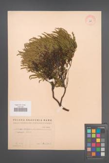 Calluna vulgaris [KOR 1958]