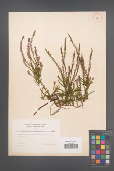Calluna vulgaris [KOR 8000]