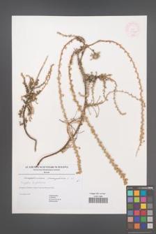 Camphorosma monspeliaca [KOR 44990]